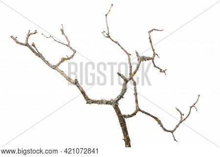 A Dry Branch With Widely Spread Shoots Is Isolated.