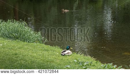 Drake And Duck By The River On Spring Morning.
