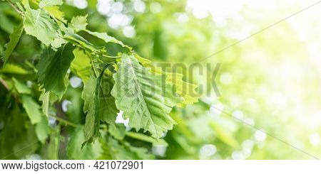 Image With Soft Focus Of Young Green Oak Leaves On Sunlit Blurred Yellow-green Bokeh Backdrop.