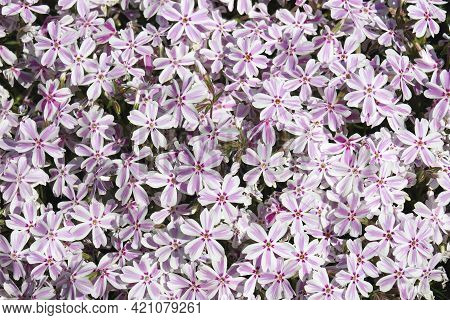 Close-up Image Of Creeping Phlox Flowers.