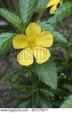 West Indian Holly (turnera Ulmifolia). Called Ramgoat Dashalong, Sage Rose, Sundrops And Yellow Alse