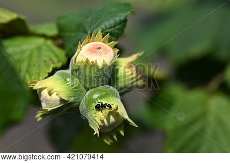 Green Young Hazelnuts (hazelnuts, Cob) Grow On Tree On Organic Nut Farm. Nuts With Leaves Garden. Co
