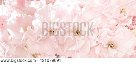 Sakura Flowers In Sun Light. Pink Flowers Of Spring Cherry Blossoms. Background With Flowers On A Sp