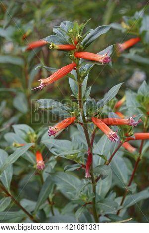 Cigar Plant (cuphea Ignea). Called Cigar Flower, Firecracker Plant And Mexican Cigar Also