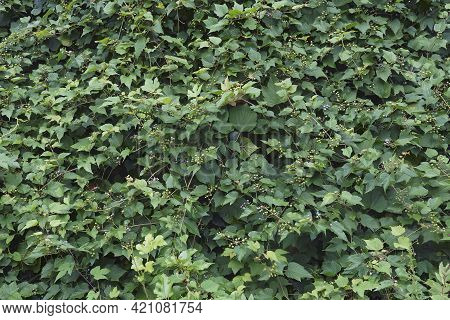 Creeper (ampelopsis Heterophylla). Called Porcelain Berry, Amur Peppervine And Wild Grape Also. Anot