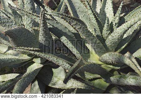 Mountain Aloe (aloe Marlothii). Called Flat-flowered Aloe Also.