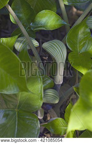 Cobra Lily (arisaema Ringens). Called Japanese Cobra Lily Also.