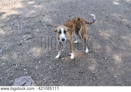 A Hungry Stray Dog With An Innocent Face.