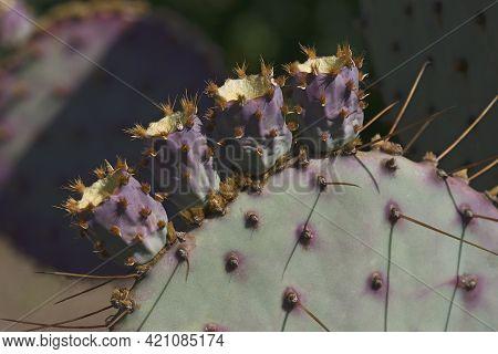 Santa Rita Prickly Pear Cactus (opuntia Santa-rita).