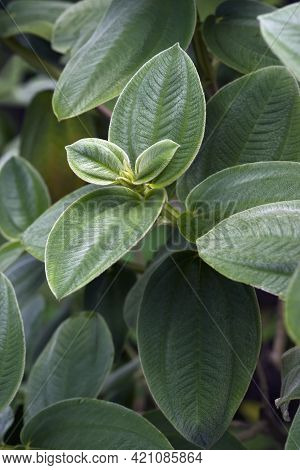 Glory Bush (tibouchina Urvilleana). Known As Lasiandra, Princess Flower, Pleroma And Purple Glory Tr