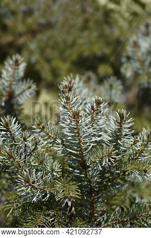 Serbian Spruce - Latin Name - Picea Omorika