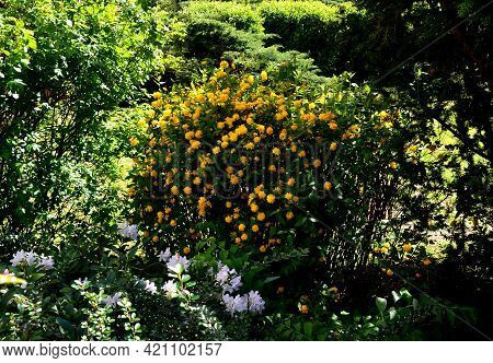 Japanese Kerria Is A Leggy, Open, Broad Rounded Deciduous Shrub That Grows . This Plant Has Upright,