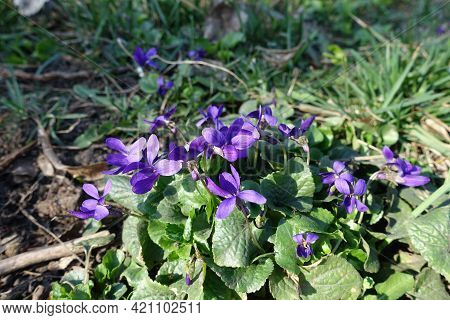 Group Of Purple Flowers Of Dog Violets In Mid March