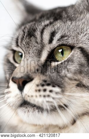 Extreme Close-up Portrait Of American Coon Cat With Big Eyes Looking. Pretty Longhair Male Mackerel