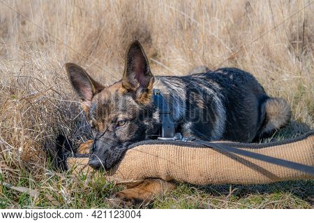 A Dog Portrait Of A Happy Four Months Old German Shepherd Puppy Laying Down In High, Dry Grass And P
