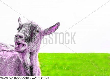 A Creative Photo Of A Recolored Goat In Pink Against A White Sky And Bright Juicy Green Grass. Portr