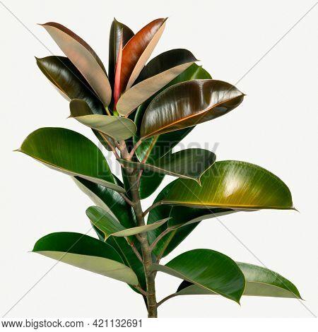 Closeup of natural Indian rubber plant mockup
