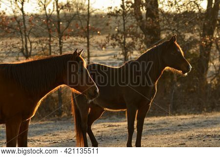 Two horses backlit and outlined by sunrise in frosty winter pasture