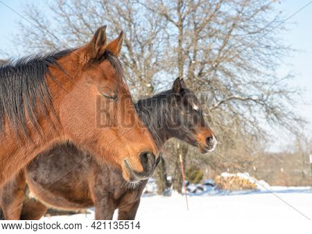 Two horses taking a nap on a cold winter day, soaking in the warmth of sun