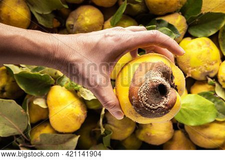 Close-up Of Ugly Large Rotted Yellow Quince Apple In Hand Of Caucasian Woman. Large Group Of Quince