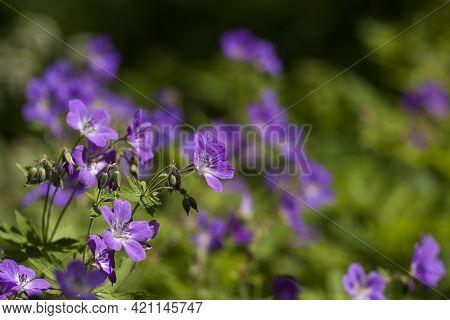 Wood Cranesbill (geranium Sylvaticum) Blooming On A Meadow During Swedish Summer