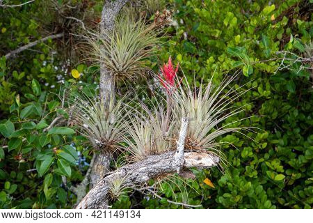 Cardinal Airplants Growing In Everglades National Park.
