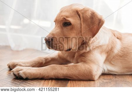 Close-up A Beige Labrador Retriever Puppy Lies On The Floor Next To The Chair. Adorable Pets. Keepin