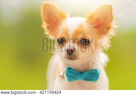 A Red-and-white Spotted Chihuahua. Chihuahua Puppy Is White With Red Spots. Dog, Puppy, Small
