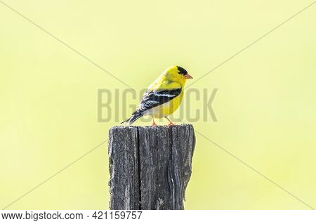 Horizontal Shot Of A Yellow Bird On A Post With Copy Space.