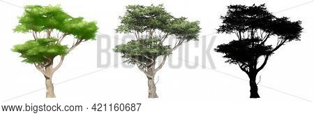 Set collection of Acacia trees, painted, natural and as a black silhouette on white background. Concept or conceptual 3d illustration for nature, ecology and conservation, strength, endurance, beauty