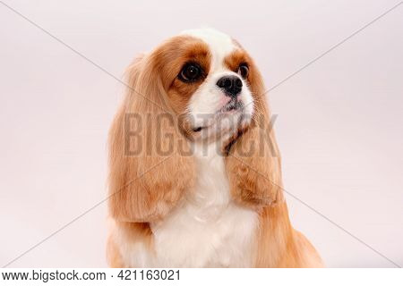 Portrait Of A Cavalier King Charles Spaniel Dog Looking At The Camera Isolated On A White Background