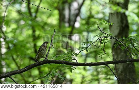 Young Song Thrush  (turdus Philomelos)  Fledgling Sitting On Tree Branch Against Spring Forest Backg