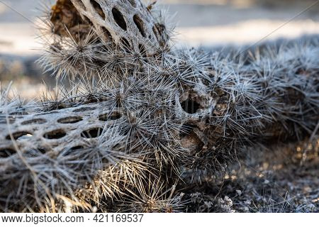 Hollow Inner Structure Of A Decomposing Cactus In Saguaro National Park