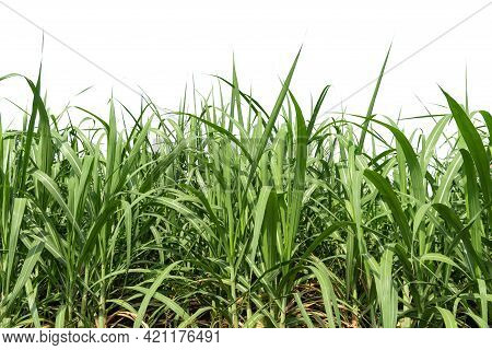Group Of  Sugar Cane Plant During Grand Growth Phase Isolated On White Background, Clipping Path. Fr