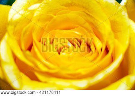 Closeup Of Beautiful Yellow Rose,macro Yellow Rosses Close-up.indoors Inside Shot.