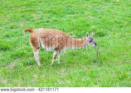 Fluffy Guanaco On Green Grass