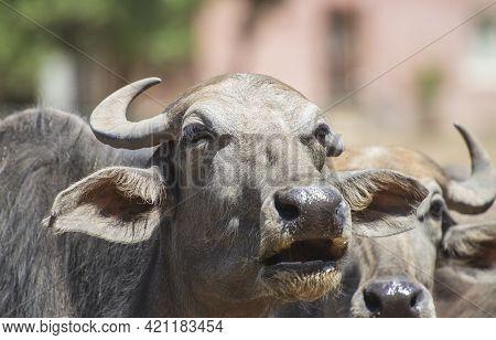 Closeup Of Domesticated Water Buffalo Bubalus Bubalis Cattle Livestock Head