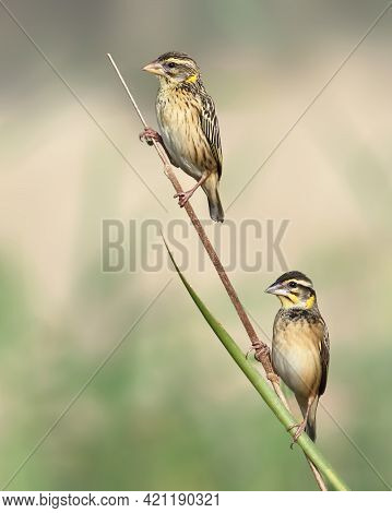 Black Breasted Or Streaked Weaver Is A Family Of Small Passerine Birds, Many Of Which Are Called Wea