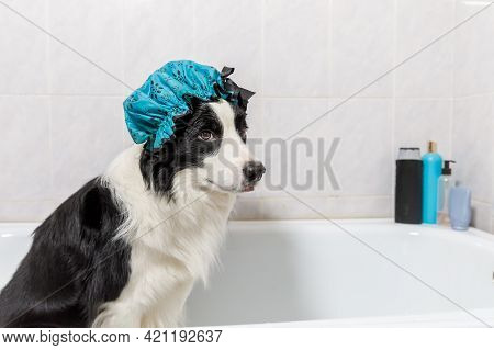 Funny Indoor Portrait Of Puppy Dog Border Collie Sitting In Bath Gets Bubble Bath Wearing Shower Cap
