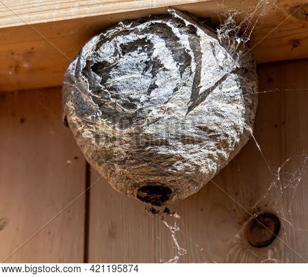 Hornet Wasps Nest On The Inside Frame Of A House Wall. Pest Control Work. Close Up.