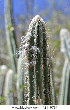 Caribbean Cactus