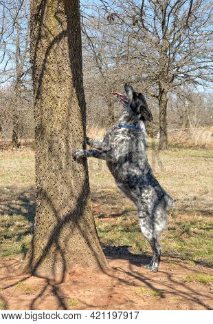 Texas Heeler dog standing up against a tree on two feet, looking up