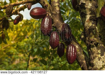 Chocolate Tree ( Theobroma Cacao ) With Fruits. Red Ready To Harvest Cacao Pod, Close Up. Fruit Plan