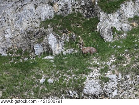 Camouflaged Young Chamois Among The Rocks Of The Mountain