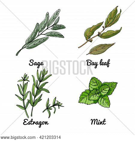 Vector Food Icons Of Vegetables And , Herbs. Colored Sketch Of Food Products. Sage, Bay Leaf, Tarrag