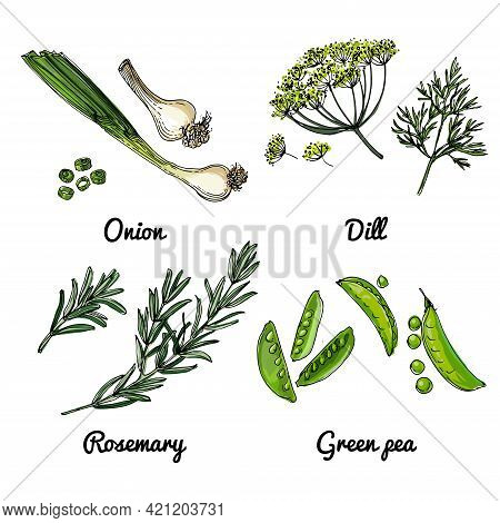 Vector Food Icons Of Herbs And Spices. Colored Sketch Of Food Products. Onions, Dill, Rosemary, Gree