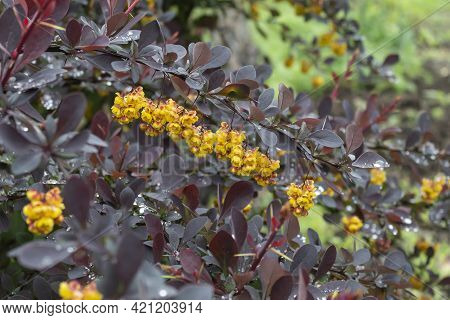 A Bright Shrub With Red Leaves And Yellow Flowers Of Thunberg Barberry In Raindrops.
