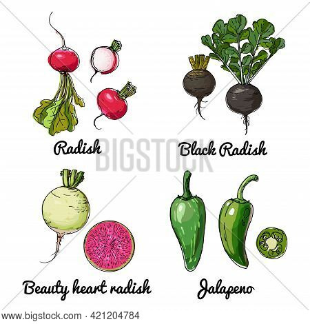 Vector Food Icons Of Vegetables. Colored Sketch Of Food Products. Radish, Black Radish, Beauty Heart