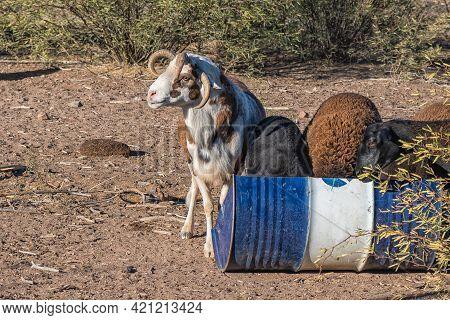 Damara Ram With Four Horns At A Trough On A Farm Near Beaufort West In The Western Cape Karoo