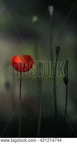 Delicate Orange Hue Of Poppy.chic Bokeh.poppy Flowers Are Attractive And Unique.delicate Orange Hue